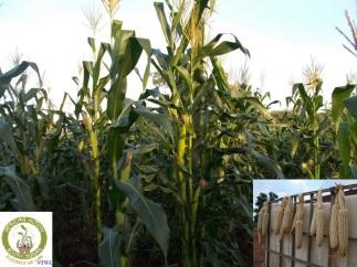 maize/corn
