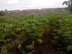 Cassava plant behing School under contruction